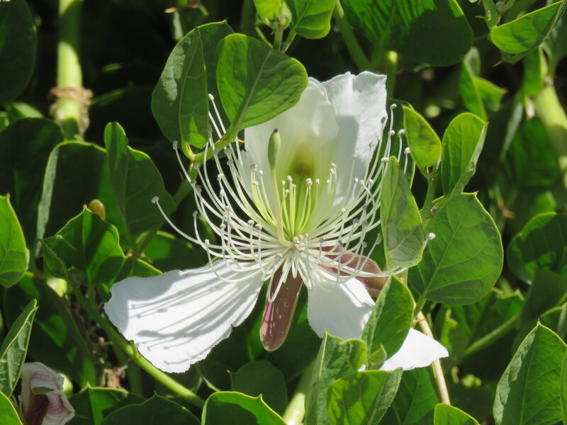 Caper Bush or Flinders Rose / Capparis spinosa